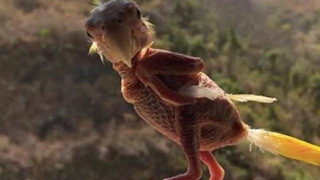 """El caso de """"Blondie"""", el pájaro al que no le crecen las"""