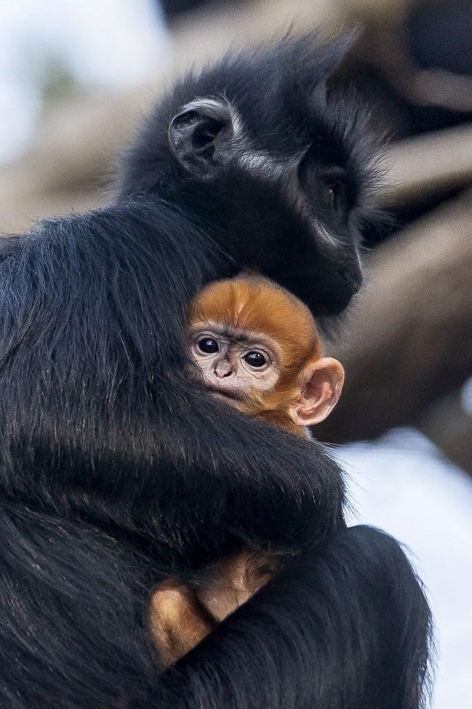 "Resultado de imagen para Nació un mono ""increíblemente raro"" en Australia"