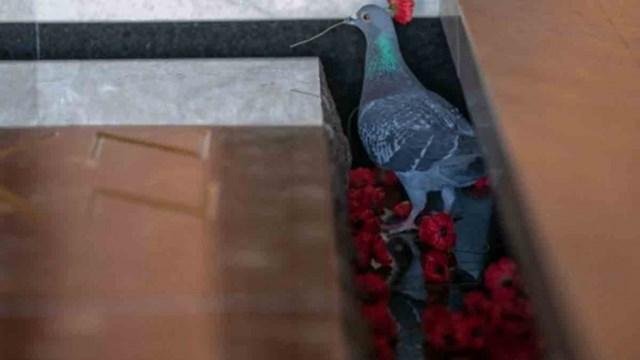 """Fotos: la paloma que """"roba"""" flores de las tumbas de soldados para construir su nido - Telefé Noticias"""
